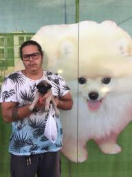 Pug de exposição em 12x com pedigree, lojas Rei dog Pet shop