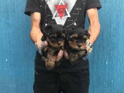 Yorkshire Terrier baby face - 6 lojas próprias - 12x Sem Juros