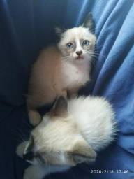 Gatinhas para adoção