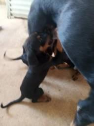 Cão de guarda rottivaler