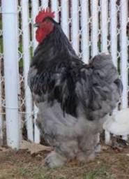 Galo, galinha, pintinho e ovos da raça Cochinchina