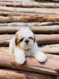 Título do anúncio: Babys Shih tzu com pedigree pronta entrega