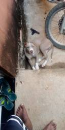 Cachorro pitty Bull