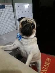 Cachorro Pug macho pra cruza !