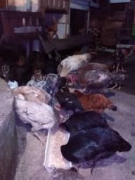 Vendo galinha caipira tratada 60 reais