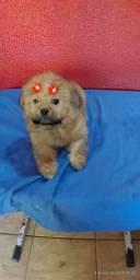 Lhasa Apso fêmea grande promoção, macho sptz laranja