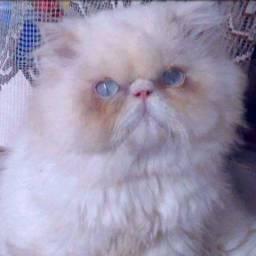 Gato persa macho adulto padreador