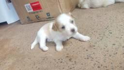 Cães maltês/poodle filhote