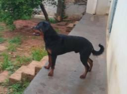 Rottweiler macho 10 meses