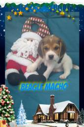 Venha conferir beagle