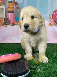 Filhotes Golden Retriever (Macho)