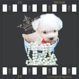 Título do anúncio: Canil Especializado na criação de Poodles Desde 1989 Verdadeiros Bibelos