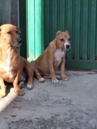 Vendo dois filhotes de cachorro um shih-tzu outro Pitbull
