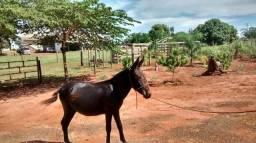 Vendo essa mula