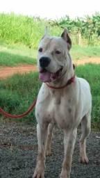 Dogo argentino disponível para cruza
