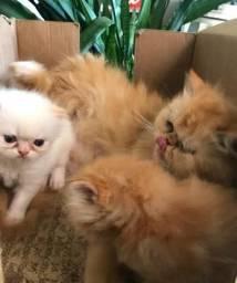 Bebezinhos Persas (machos)