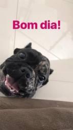 Vendo um casal de Bulldog francês