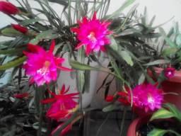 Flor Cacto Orquidea