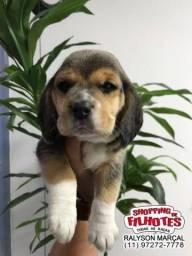 Beagle Mini, filhotes disponíveis com pedigree e garantias completas em contrato