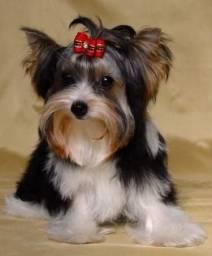 Título do anúncio: Biw terrier canil PS