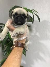 Pug preto/abricot, 9 clinicas e oferecemos suporte veterinário exclusivo em todo Brasil!