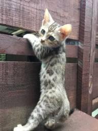 Bengal ( mini leopardo)