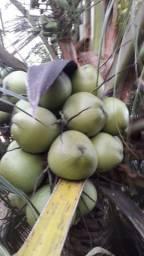 Coco verde: