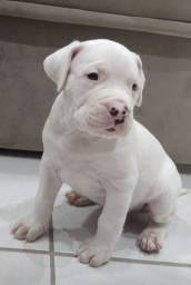 Título do anúncio: Dogo Argentino - Filhotes
