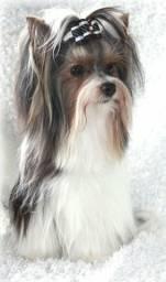 Título do anúncio: Biw terrier, alta genética canil PS