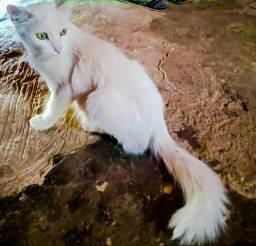 Doação gatinha branca fêmea