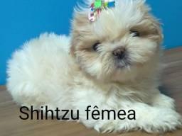 Fêmea de shihtzu