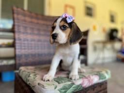 Beagle lindíssima tricolor com pedigree