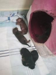 Vendo filhote de cachorro pitcher n01
