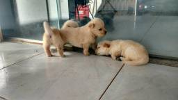Filhotes Golden + Chow chow