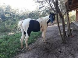 Égua Vendo ou troco