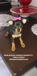 Pinscher pinschers miniatura cão cachorro