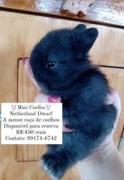 Título do anúncio: Mini coelhos Netherland Dwarf, leia o anúncio