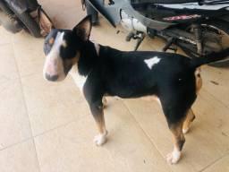 Bull Terrier tricolor 10 meses