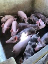 Título do anúncio: Vendo porquinhos