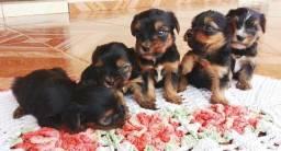 Yorkshire micros terrier