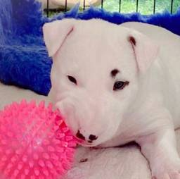 Maravilhosos Filhotes de Bull Terrier promoção só hoje