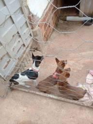 Título do anúncio: Vende se cachorro da raça Pinscher