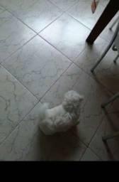 Título do anúncio: Maltês filhote com 02 meses