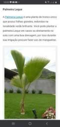 Muda de Palmeira Leque.