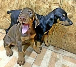 Cães Doberman à venda (filhotes)