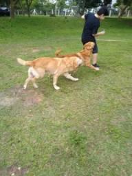 Labradores puros machos para doação