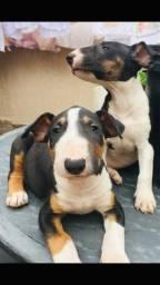 Bull terrier inglês vacinados barato pra vender rápido