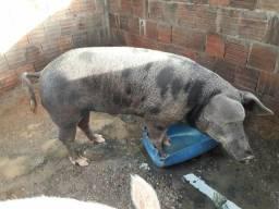 Vendo ou troco 5 porcos