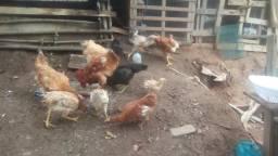 Vendo lote de galinhas