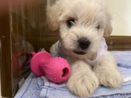 Lindo filhotinho de poodle macho!!!
